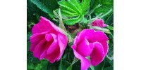 Huiles Botaniques - Huiles de corps - Huiles de bain
