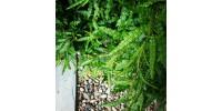 Herbes a fumer